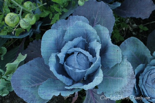 Cabbage watermarked