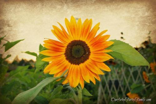rustic sunflower watermarked