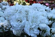 7-2-2017 Rose Garden Artsy IMG_5898