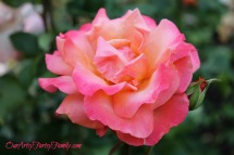 7-2-2017 Rose Garden Artsy IMG_5899