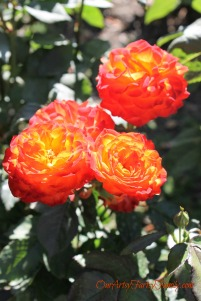 7-2-2017 Rose Garden Artsy IMG_5905