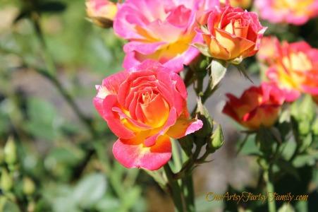 7-2-2017 Rose Garden Artsy IMG_5924