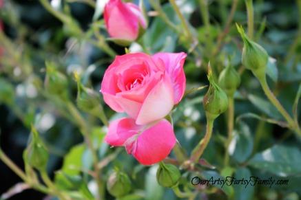 7-2-2017 Rose Garden Artsy IMG_5933