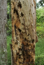 The woodpeckers and insects sure made this into a piece of art.